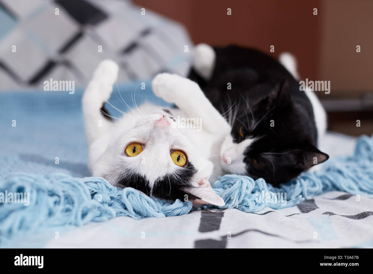 Two young cats are playing and wrestling with each other and rolling over - Stock Image