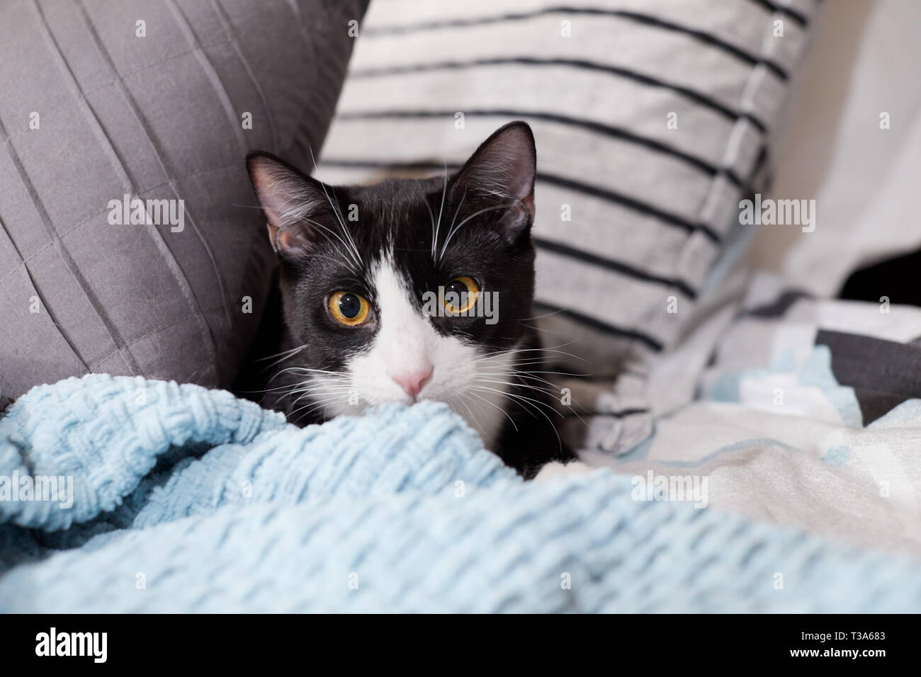 A black and white tuxedo cat is hiding on a bed between pillows and behind a blue blanket - Stock Image