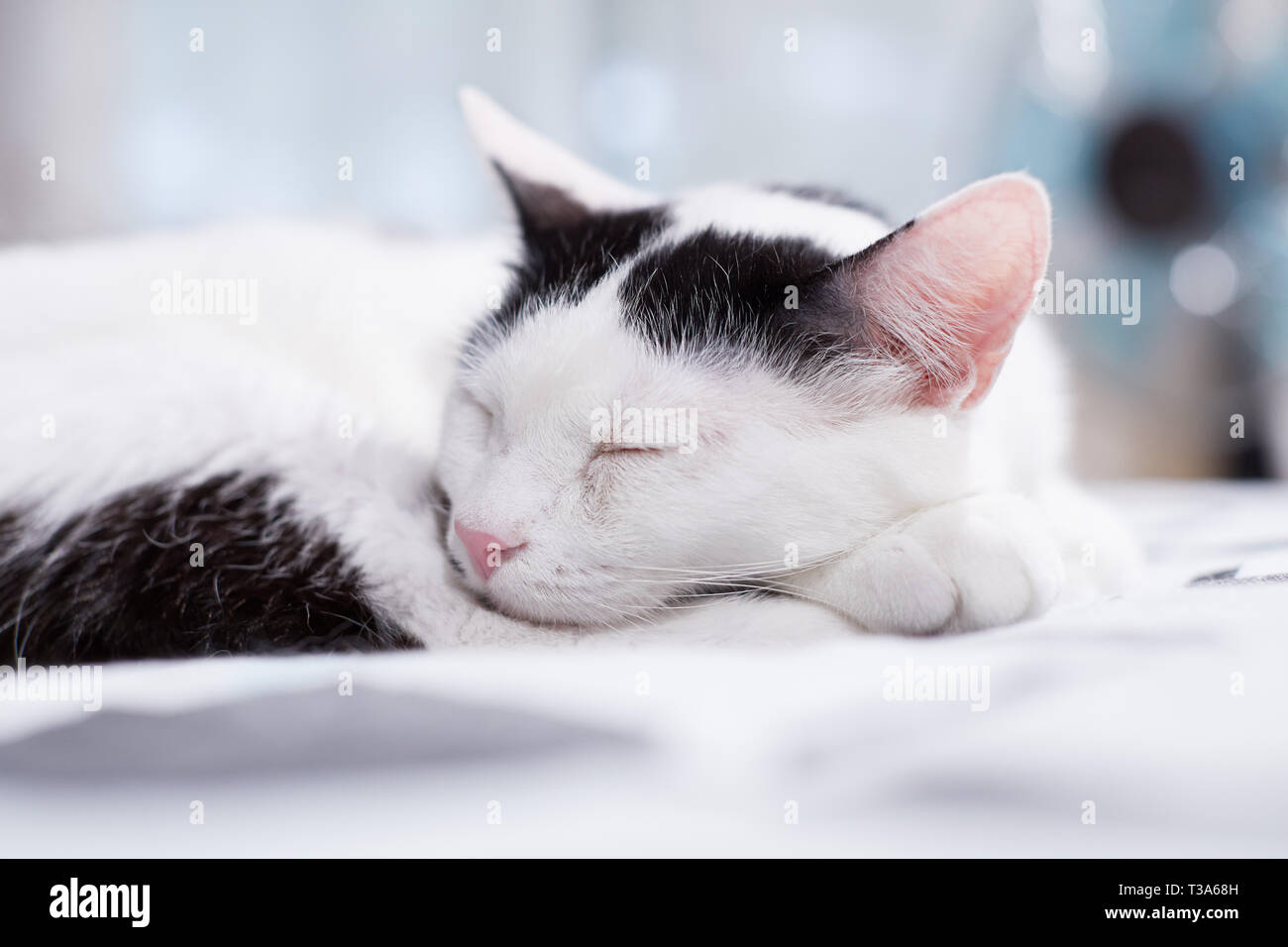 A white cat with black markings is sleeping on a bed and feels comfortable - Stock Image