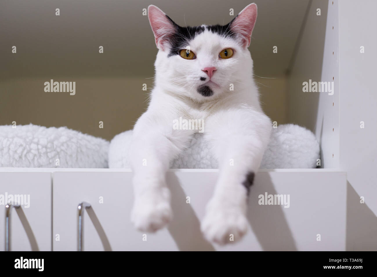A white cat with black markings on his face and head is relaxing on a shelf in a book case - Stock Image