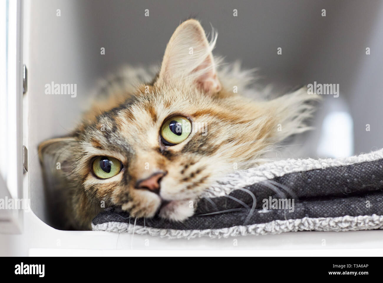 A longhair brown tabby cat is relaxing in a cat condo Stock Photo