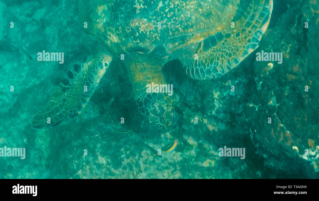 high angle underwater view of a green sea turtle feeding at isla santiago - Stock Image