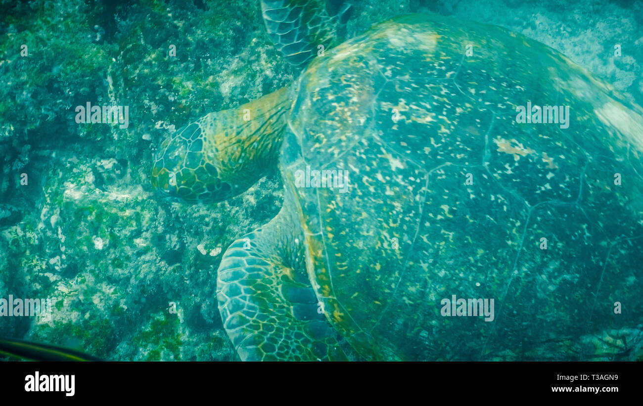 overhead underwater shot of a feeding green sea turtle in the galapagos - Stock Image