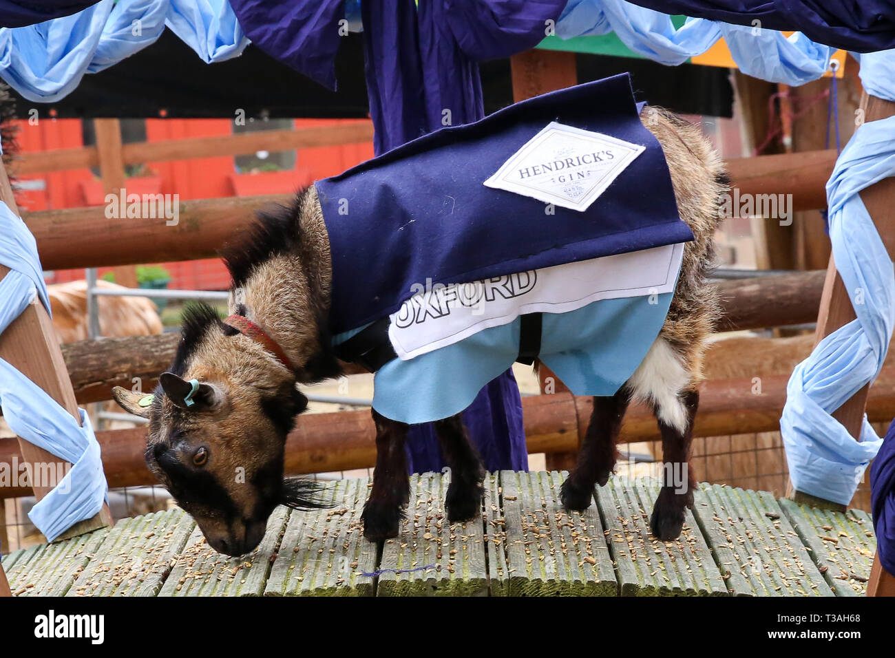 The winner Hamish representing Oxford is seen on the podium after the Oxford vs Cambridge Goat Race in East London. Two pygmy goats compete during the 10th Oxford and Cambridge Goat Race at Spitalfields City Farm, Bethnal Green in East London. The annual fundraising event, which takes place at the same time as the Oxford and Cambridge boat race, where two goats, one named Hamish representing Oxford and the other Hugo representing Cambridge to be crowned King Billy. - Stock Image