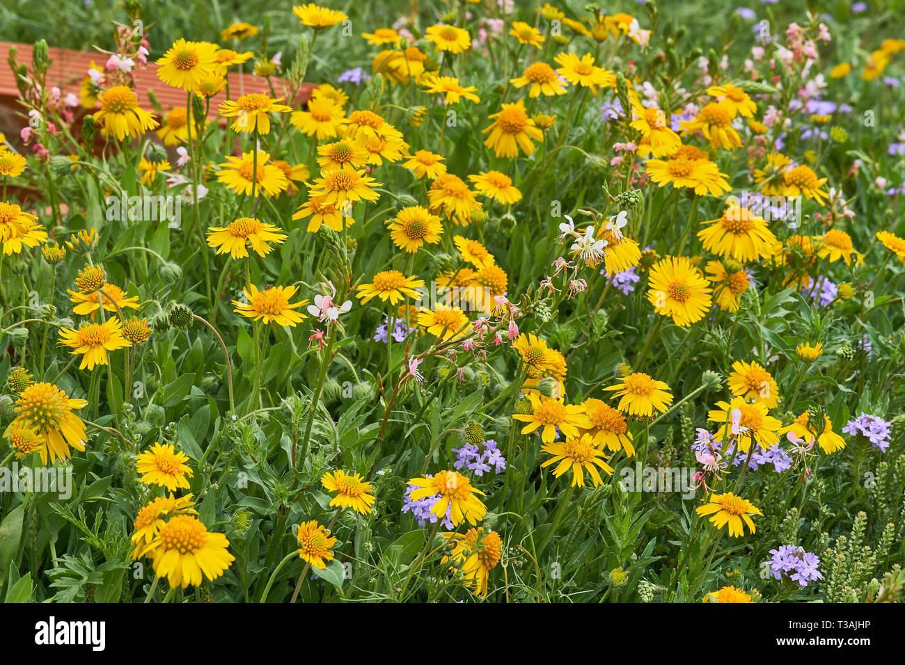 Beautiful patch of wild spring Yellow Sneezweed (Helenium amarum) intermixed with Butterfly Gaura (Oenothera lindheimeri) and Purple Prairie Verbena Stock Photo
