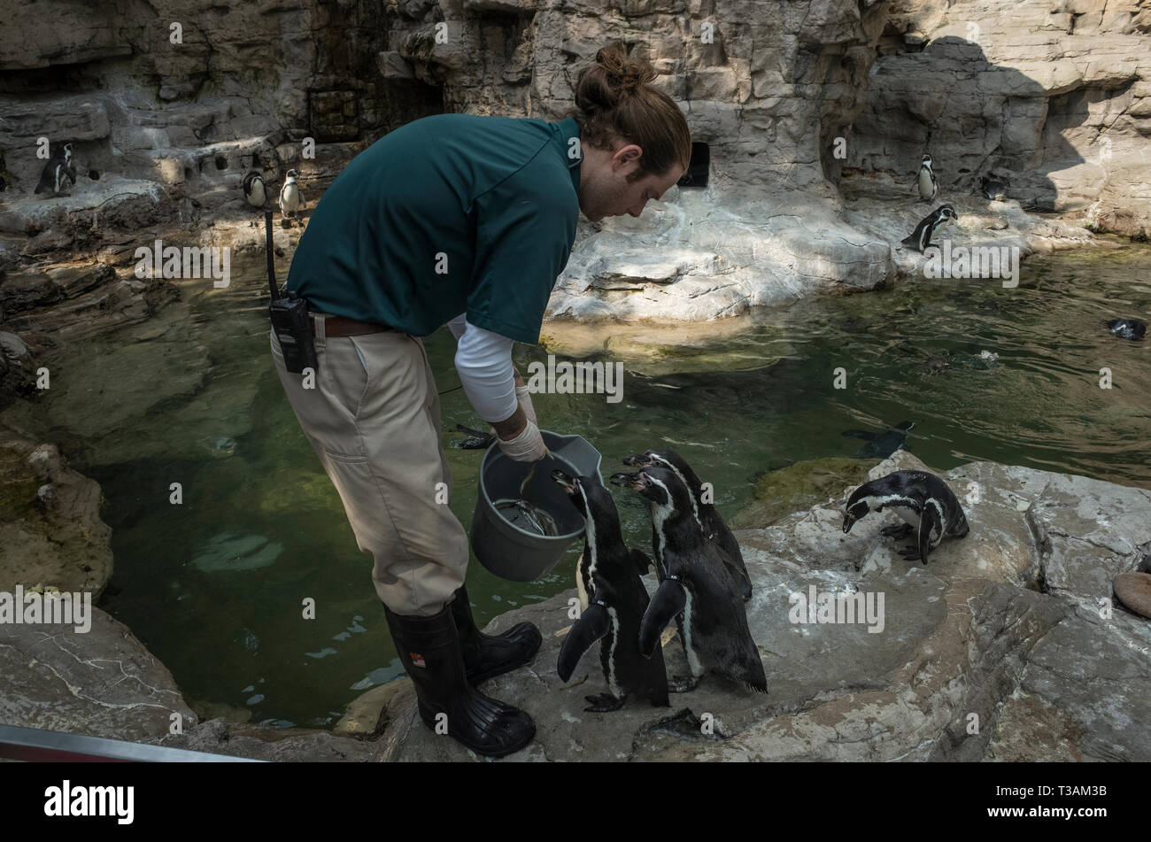A zoo keeper feeds penguins fish at the St. Louis Zoo in the state of Missouri - Stock Image