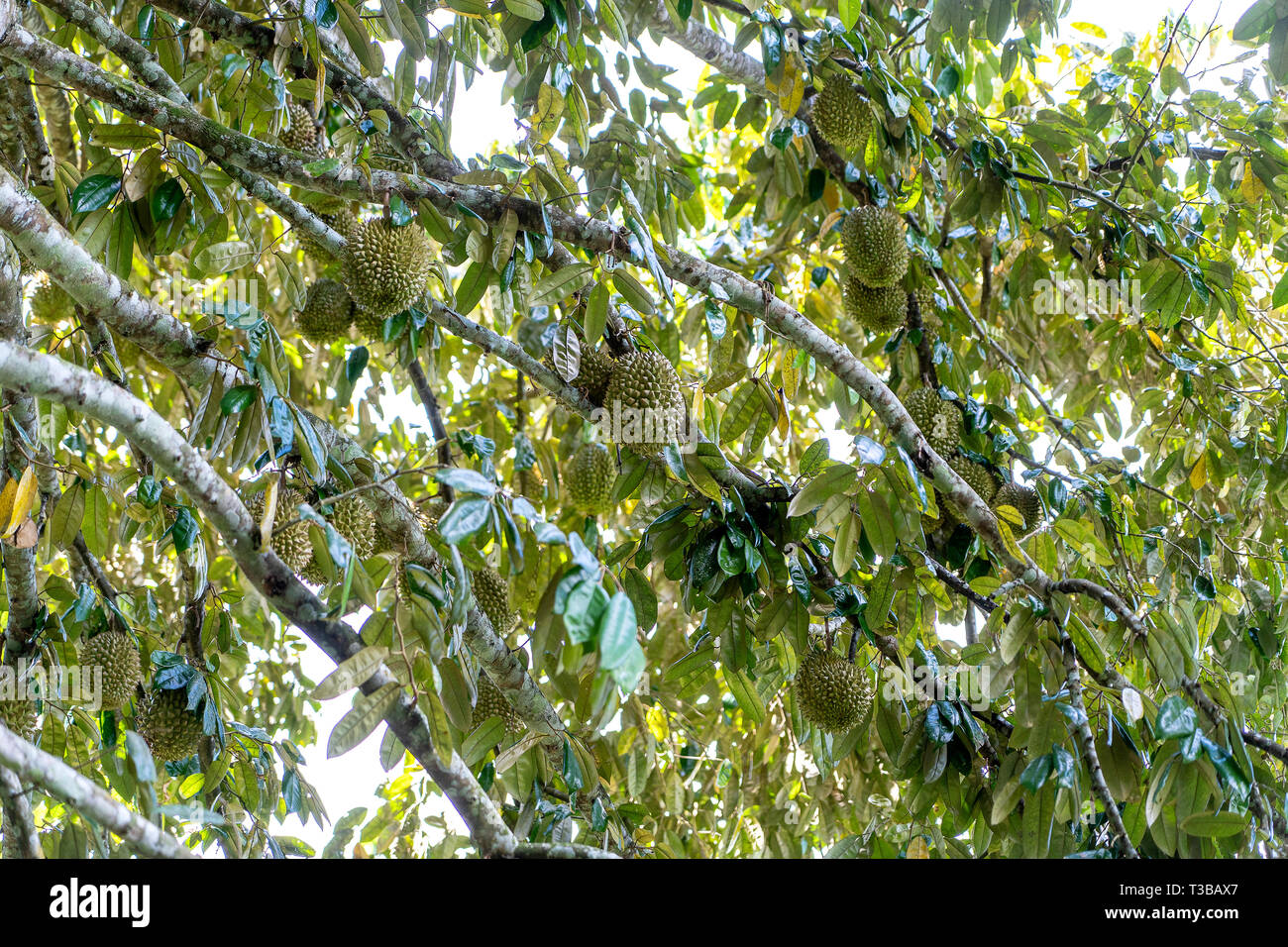 Durian tree, Fresh durian fruit on tree, Durians are the