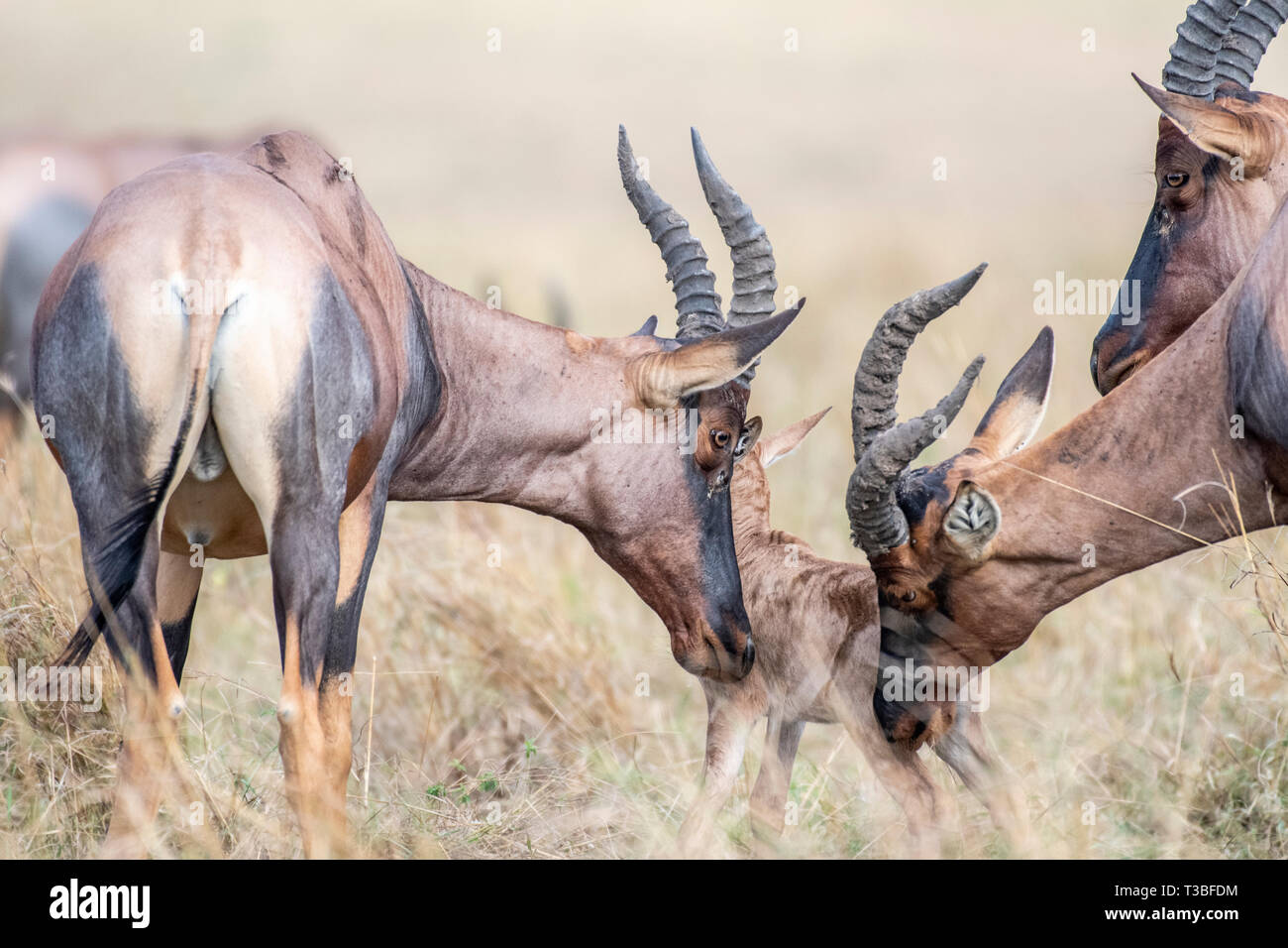 Mother Hartebeest trying to protect baby from male in Mara triangle - Stock Image