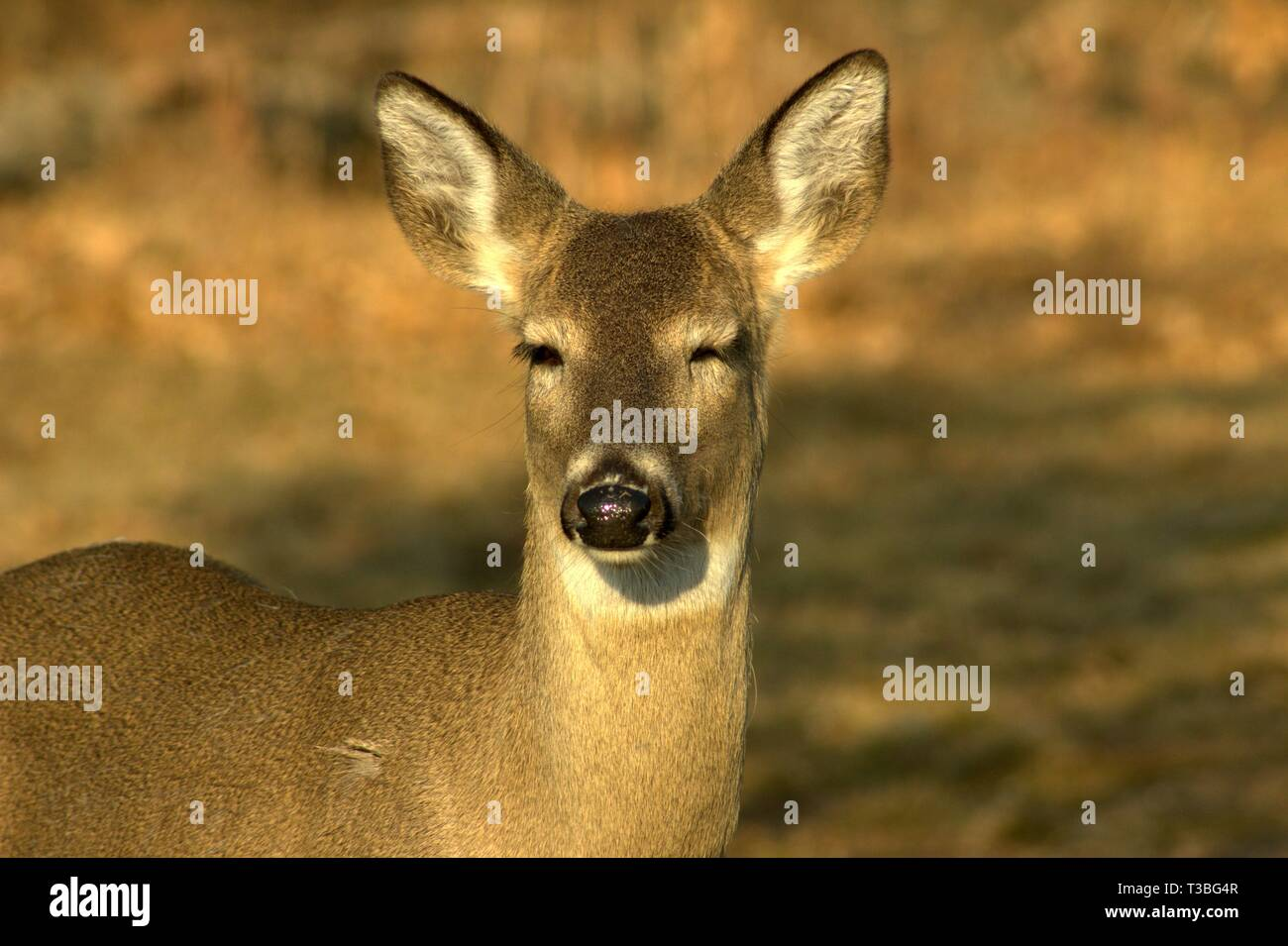 a doe with closed eyes enjoying the warmth of the sun T3BG4R