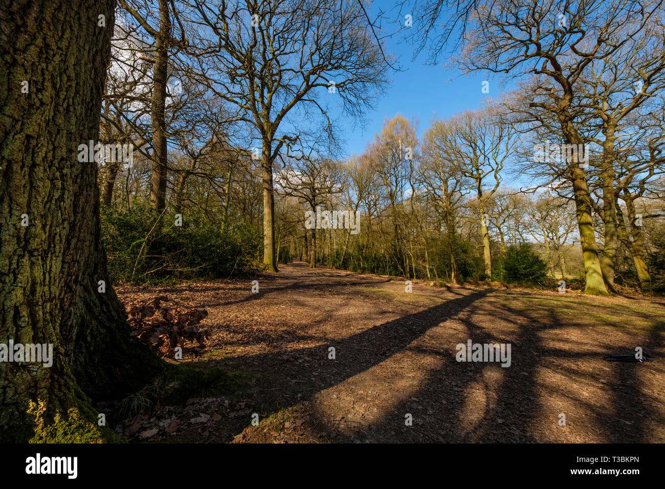 Swithland wood is the  most important site  of ancient woodland for nature conservation in Leicestershire and a Site of Special Scientific Interest. - Stock Image