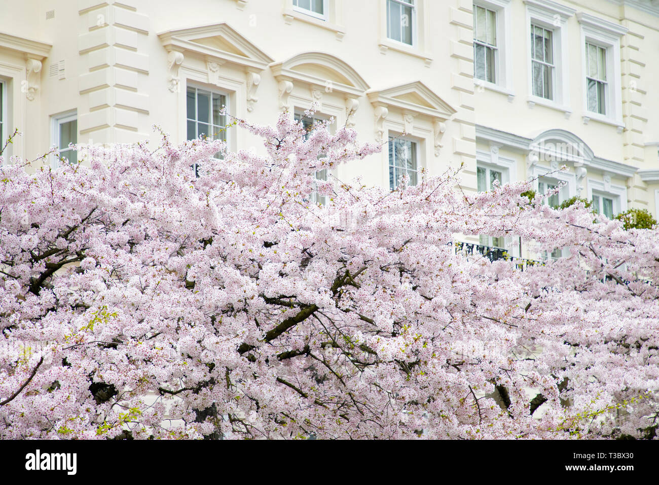 LONDON, UK - MARCH 27th, 2019:Cherry tree is blooming outside elegant building in Central London. Notting Hill area  is full of  colorful houses and b - Stock Image
