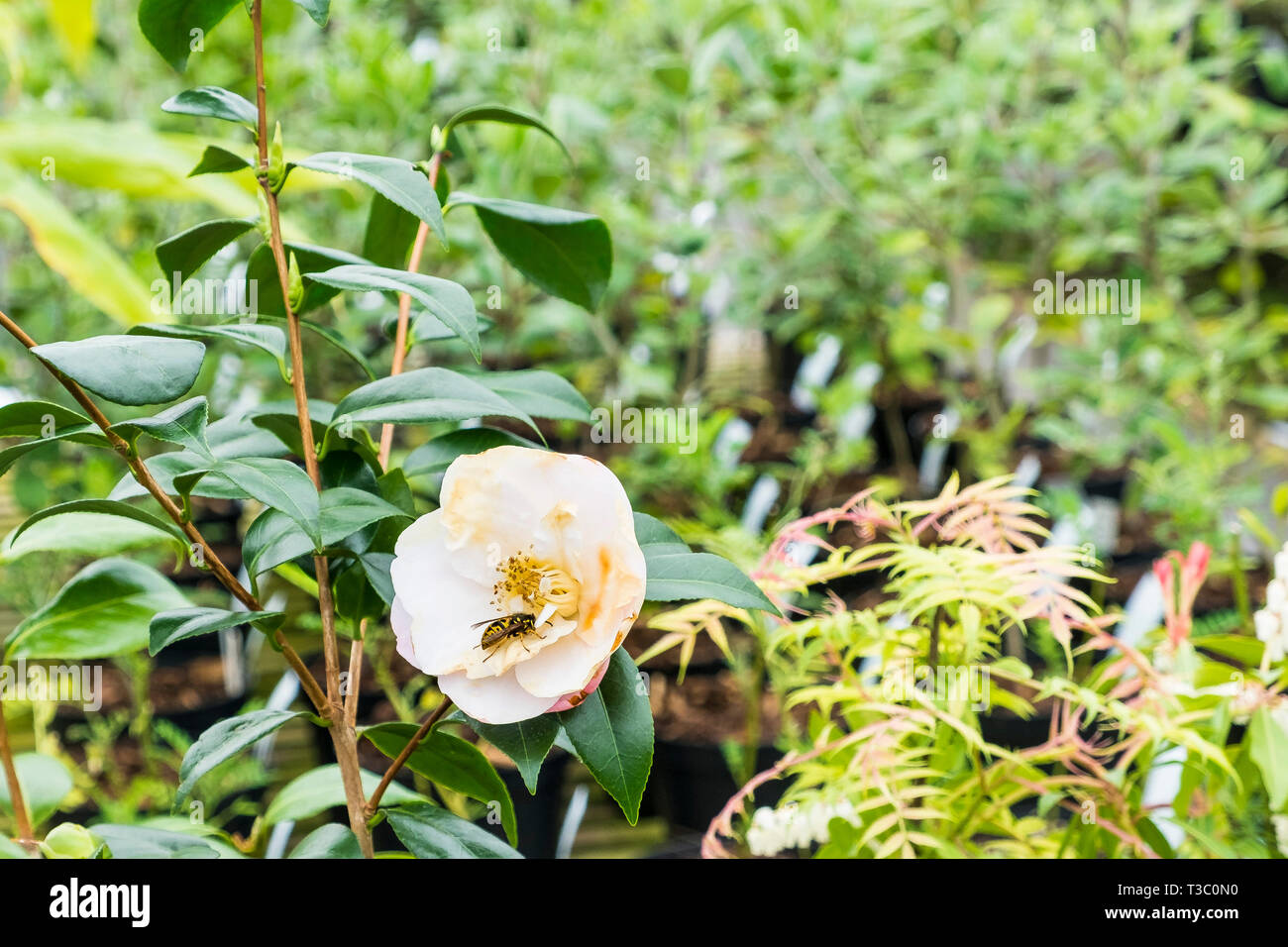 A wasp feeding off the flower on a Camellia japonica 'Doctor Tinsley'. - Stock Image