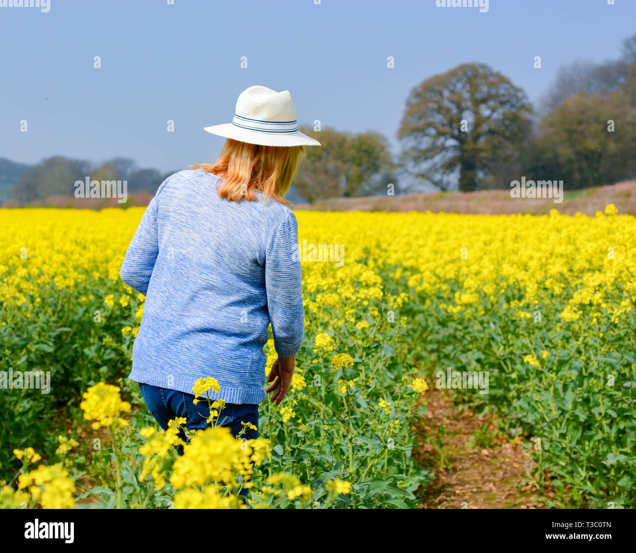 Woman in a white summer straw boater hat and a blue top walking in spring sunshine through bright yellow rapeseed flowers in a field. - Stock Image