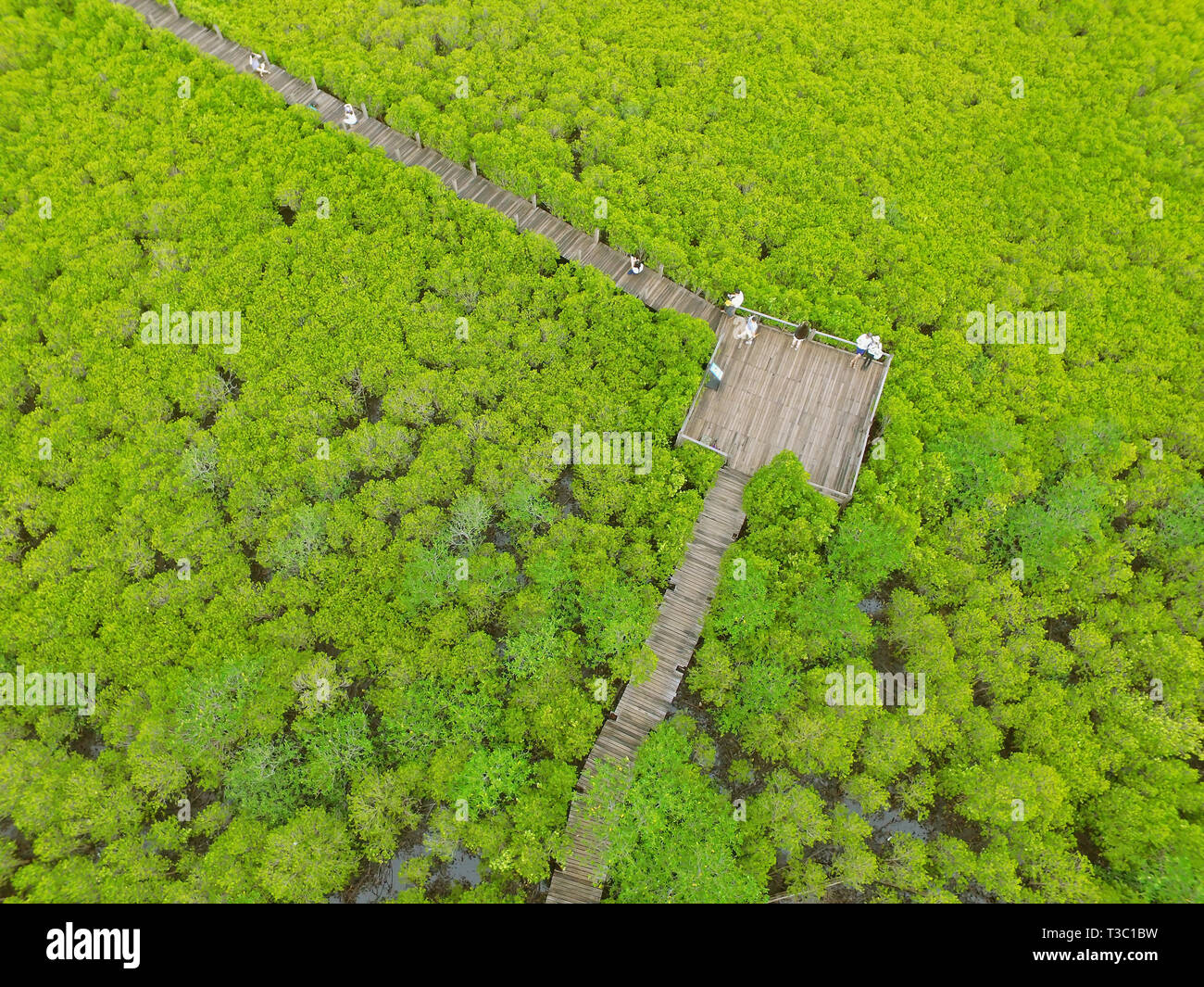 Drone Photography of the Bird Eye View of Spurred Mangrove Forest with Many Visitors Enjoy the View on Wooden boardwalk, Rayong, Thailand - Stock Image