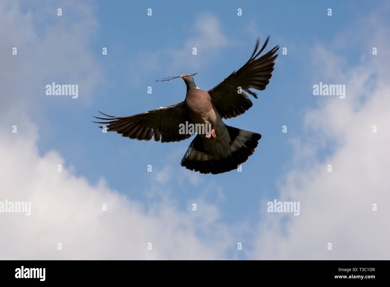 Flying dove with twig in the beak about to build a nest. Denmark Stock Photo