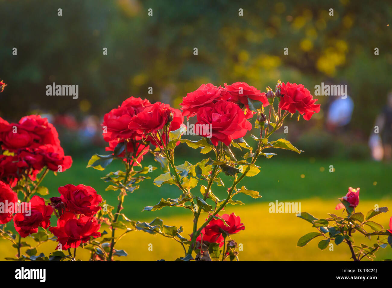 Red roses in the evening light. Beautiful red spray roses