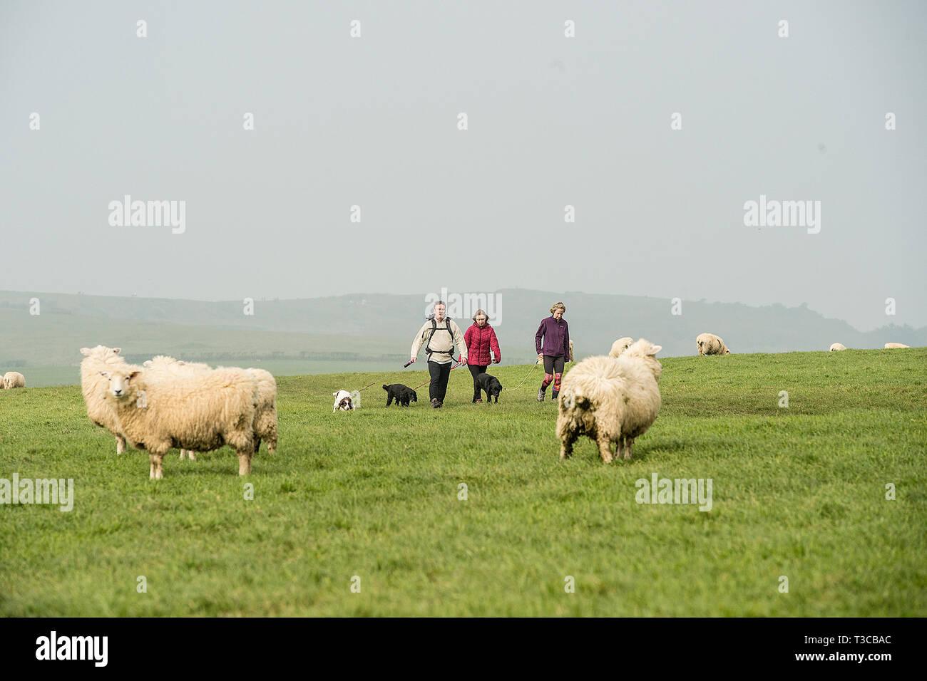 walking dogs through sheep - Stock Image
