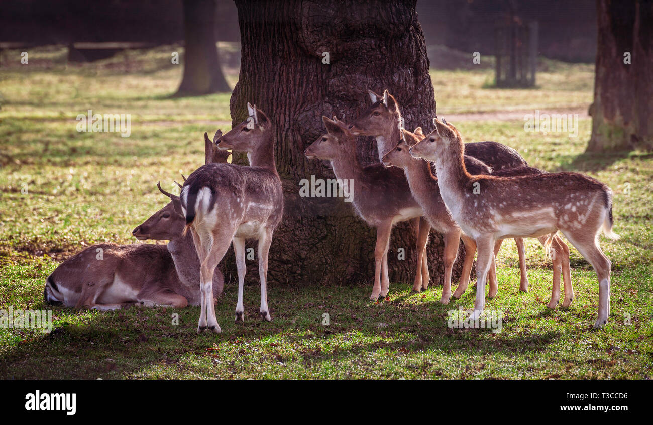 A herd of deer in the shade of a tree, UK. - Stock Image
