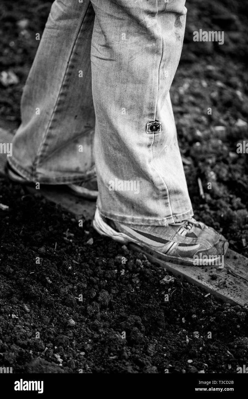 Woman wearing jeans and trainers, walking on a plank of wood to protect the soil at her organic allotment. - Stock Image