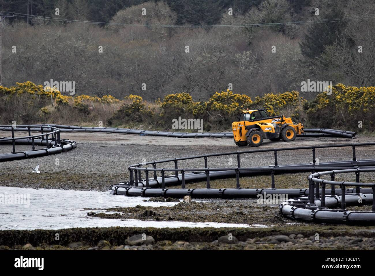 Construction of Fusion Marine, HDPE, floating, salmon fish pen cages on the shores of Loch Creran. Golden blooms of whins in the background. - Stock Image
