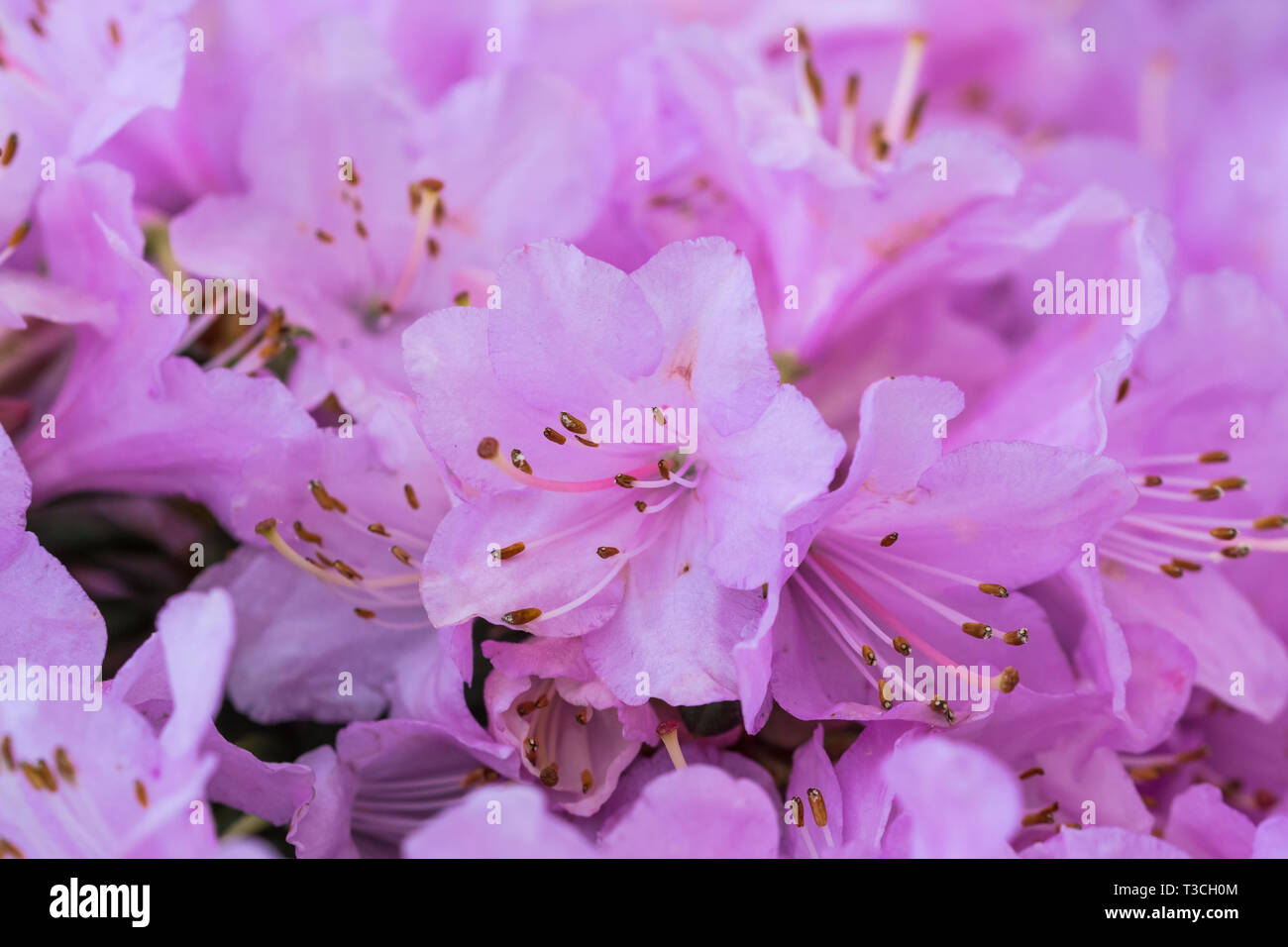 Small pink flowers from a Dwarf Rhododendron 'Snipe' plant in Spring in West Sussex, UK. - Stock Image