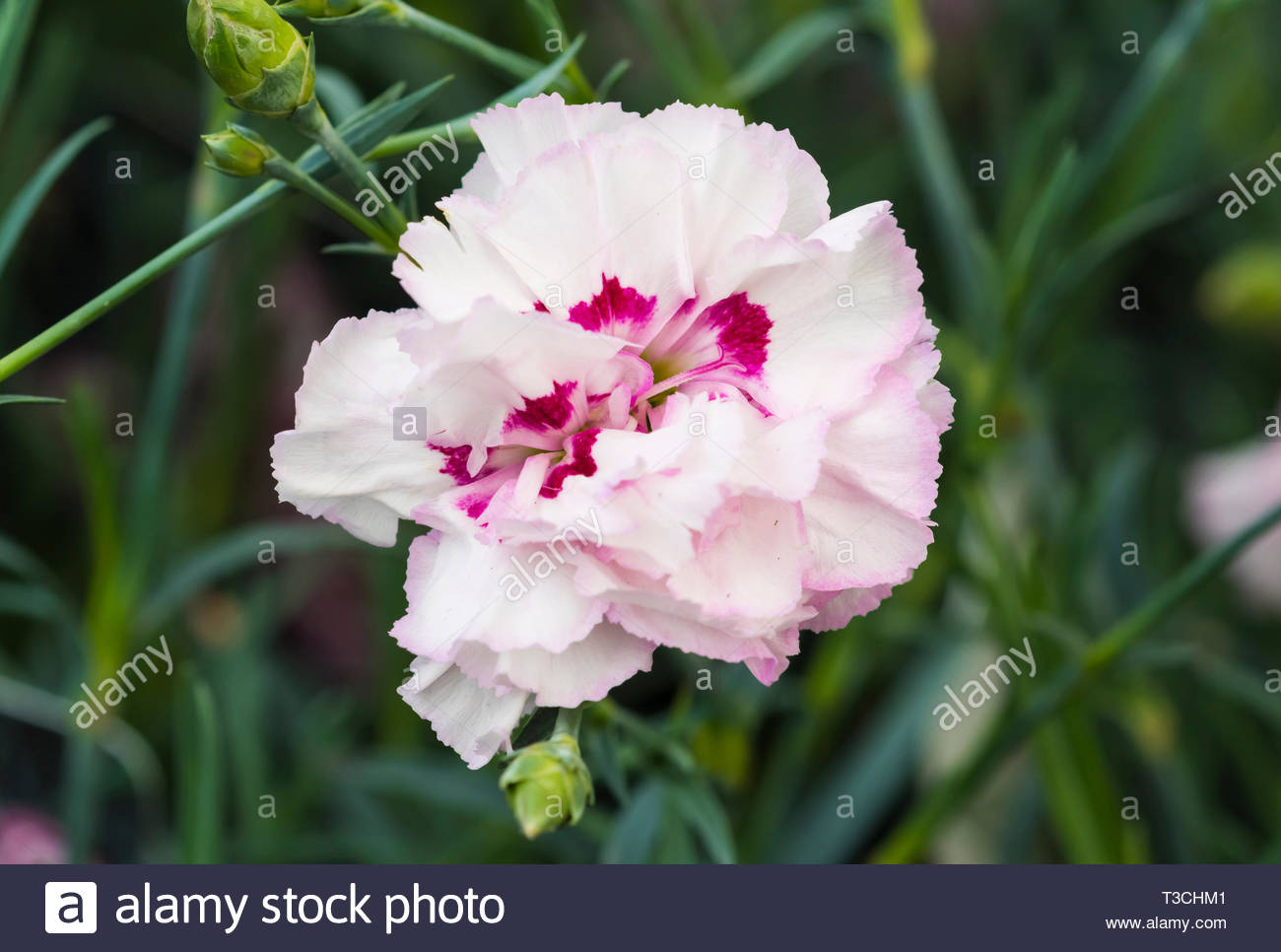 Dianthus Cottage Pink 'Gran's Favourite' Carnation flower blooming in Spring in West Sussex, UK. - Stock Image
