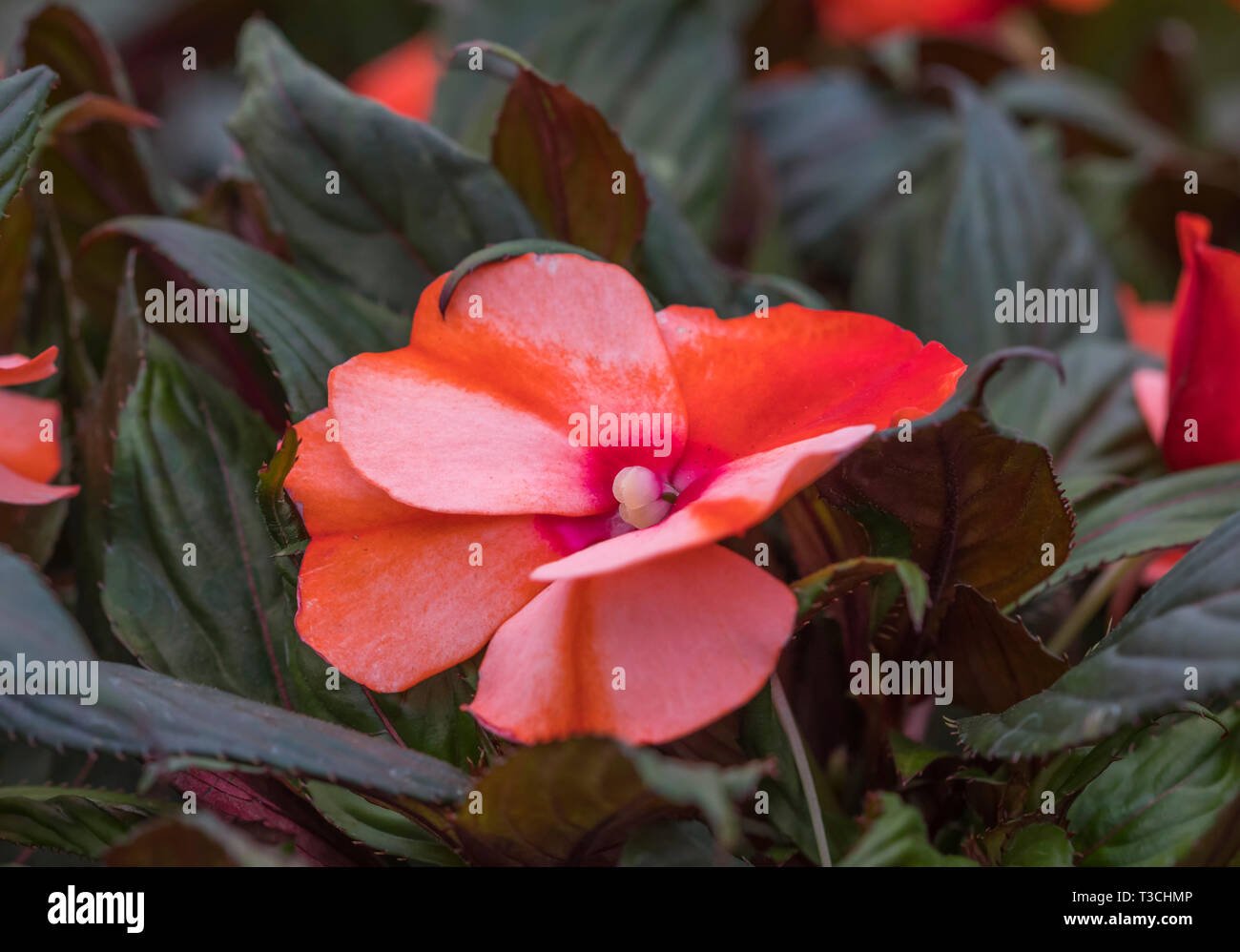 Impatiens 'New Guinea' perennial plant flowering in Spring in West Sussex, UK. - Stock Image