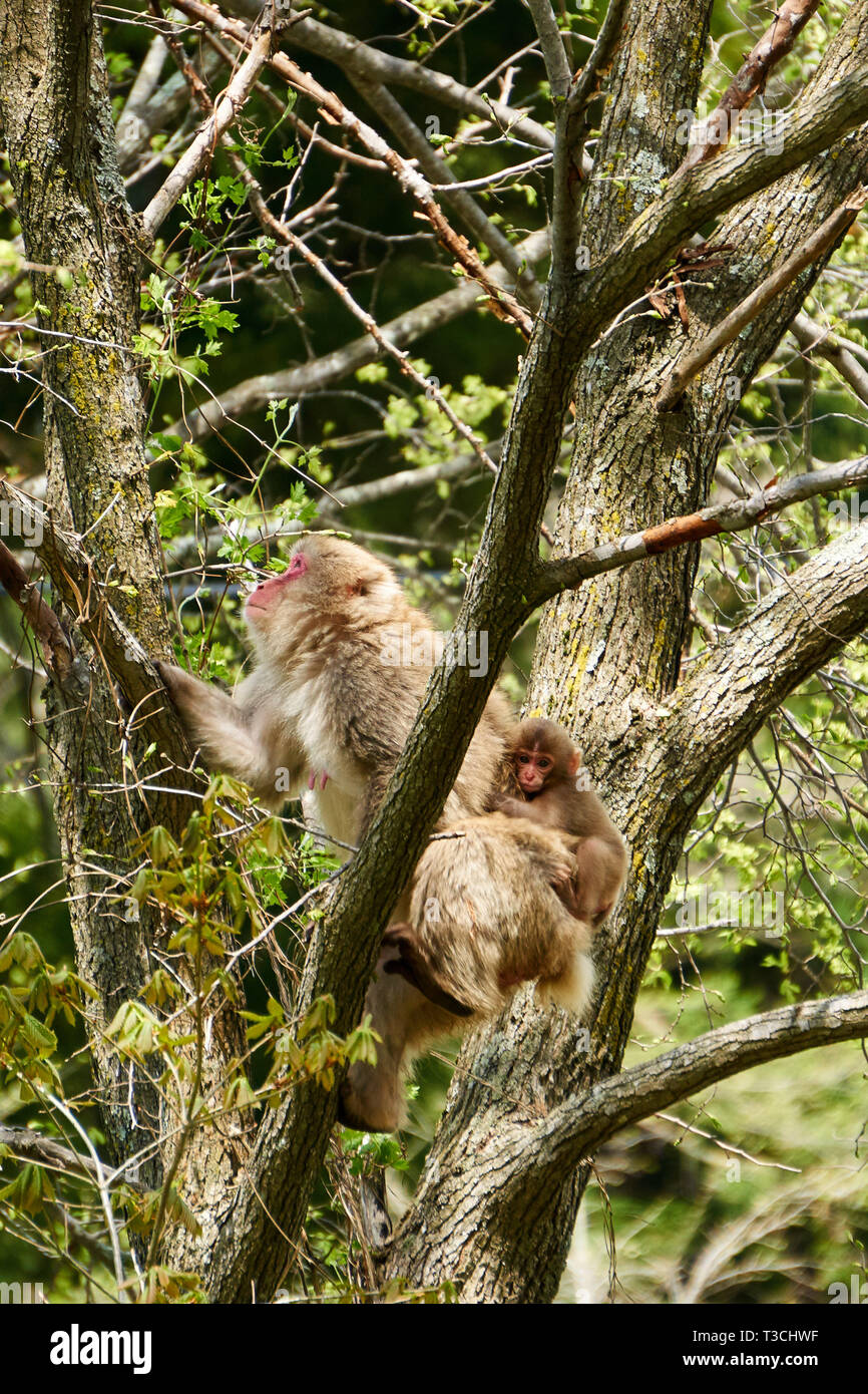 A mother Japanese macaque (snow monkey, Macaca fuscata) climbs a tree while an infant holds onto her back. - Stock Image