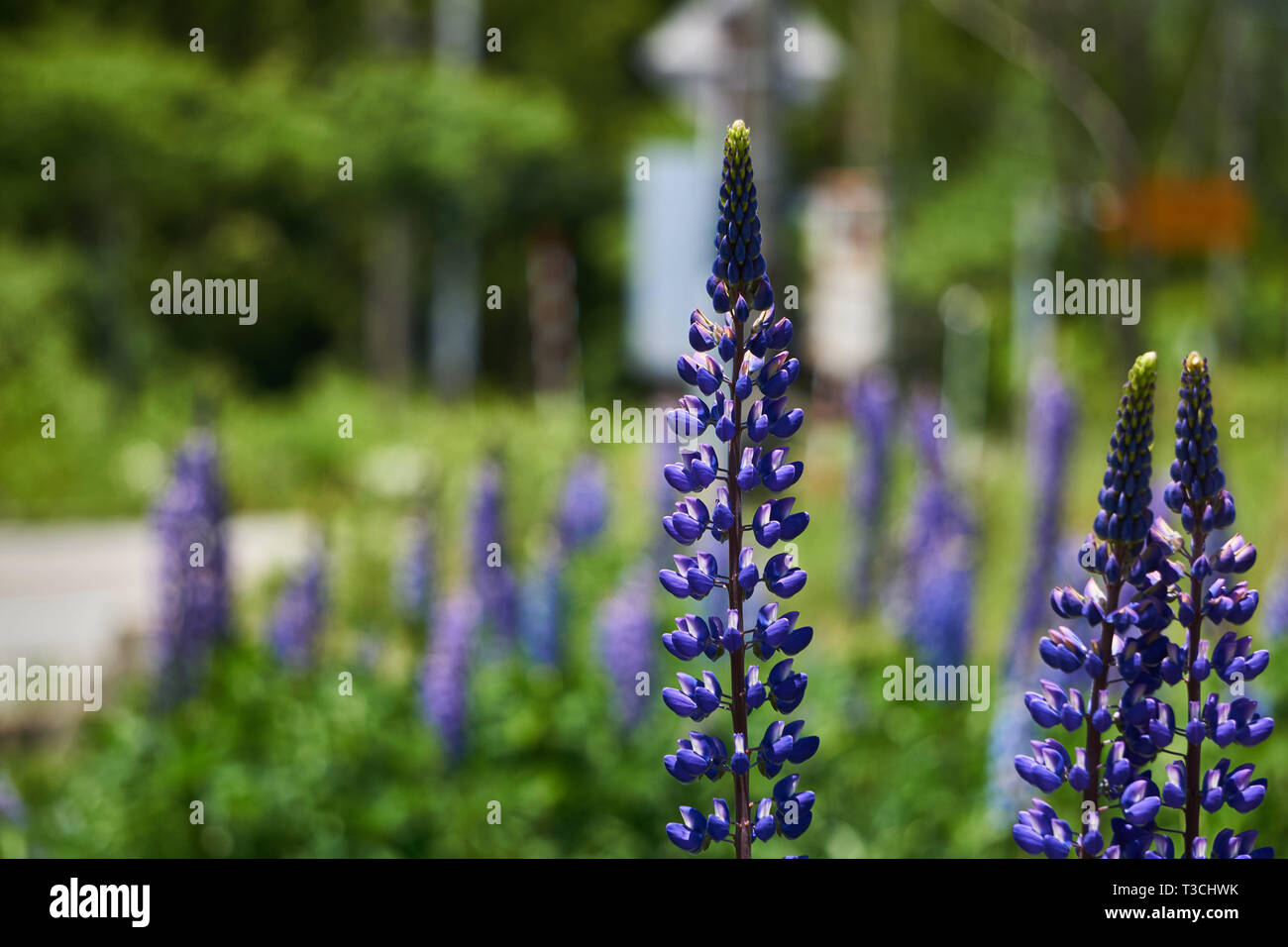 Tall, purple lupinus polyphyllus (large-leaved lupine, big-leaved lupine, many-leaved lupine) flowers growing in a garden in Yuzawa, Niigata, Japan. Stock Photo