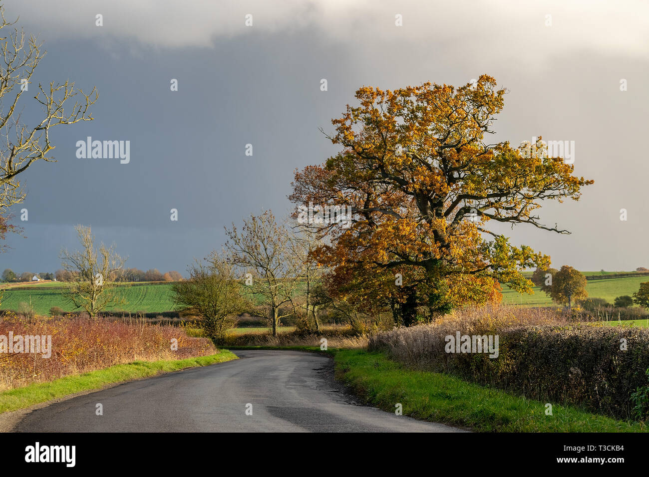 A beautiful Oak tree in autumn colours as it approaches the winter months, growing in a hedgerow in the English countryside, UK Stock Photo
