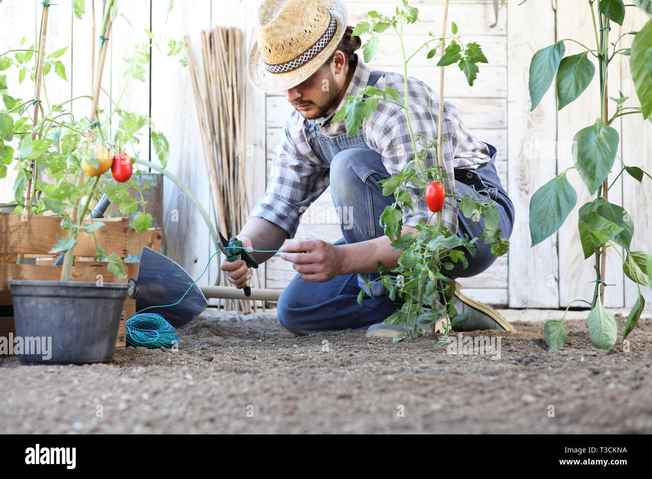 Man Working In The Vegetable Garden Tie Up The Tomato Plants Take