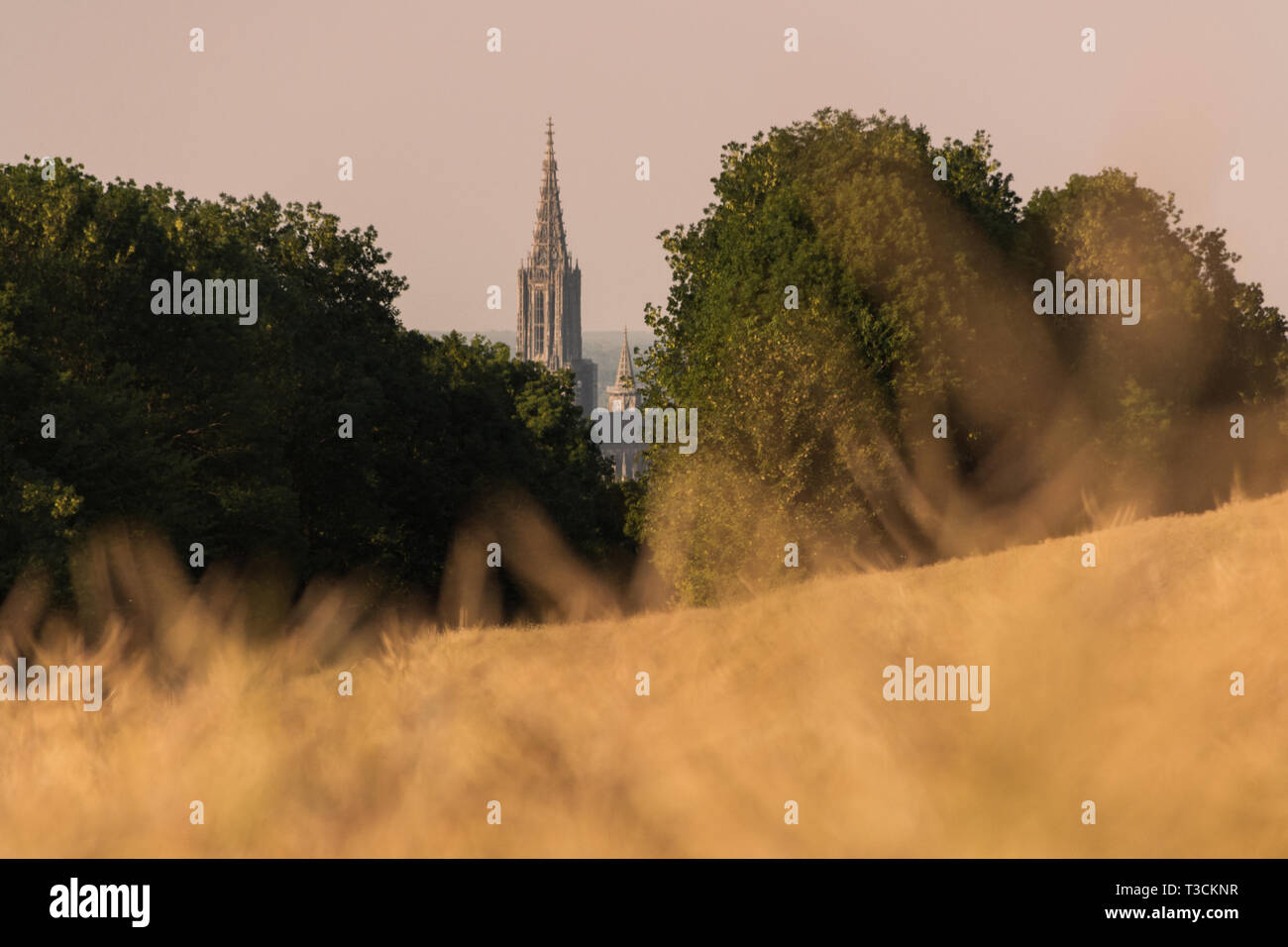 A yellow wheat field in the summer. The minster of ulm is visible in the background Stock Photo