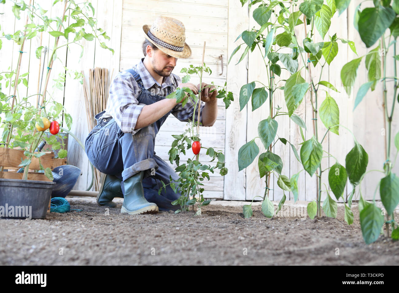 man working in the vegetable garden tie up the tomato plants, take care to make them grow and produce more - Stock Image