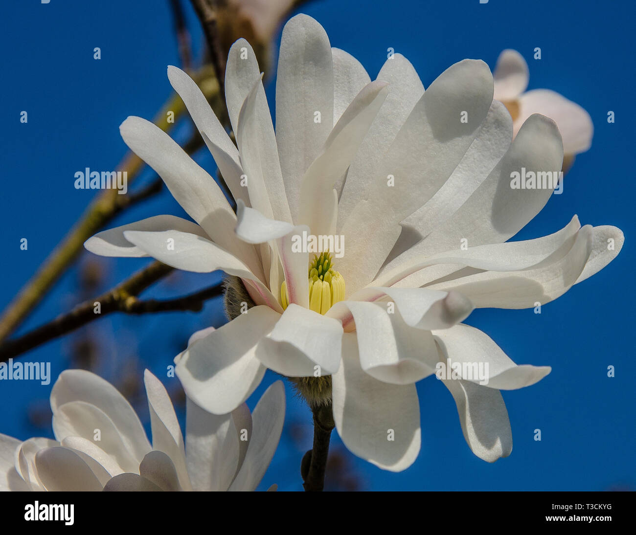 Magnolia is a large genus of about 210 flowering plant species in the family Magnoliaceae. It is named after French botanist Pierre Magnol. Stock Photo