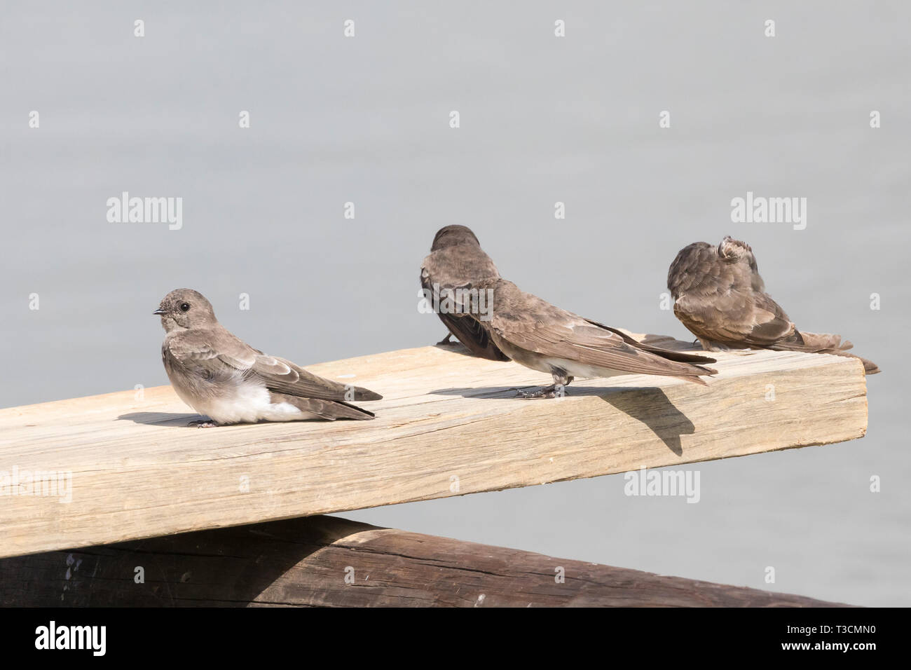 Brown-throated Martin (Riparia paludicola) group perched on a wooden jetty at a rual dam in farmland, Western Cape, South Africa - Stock Image