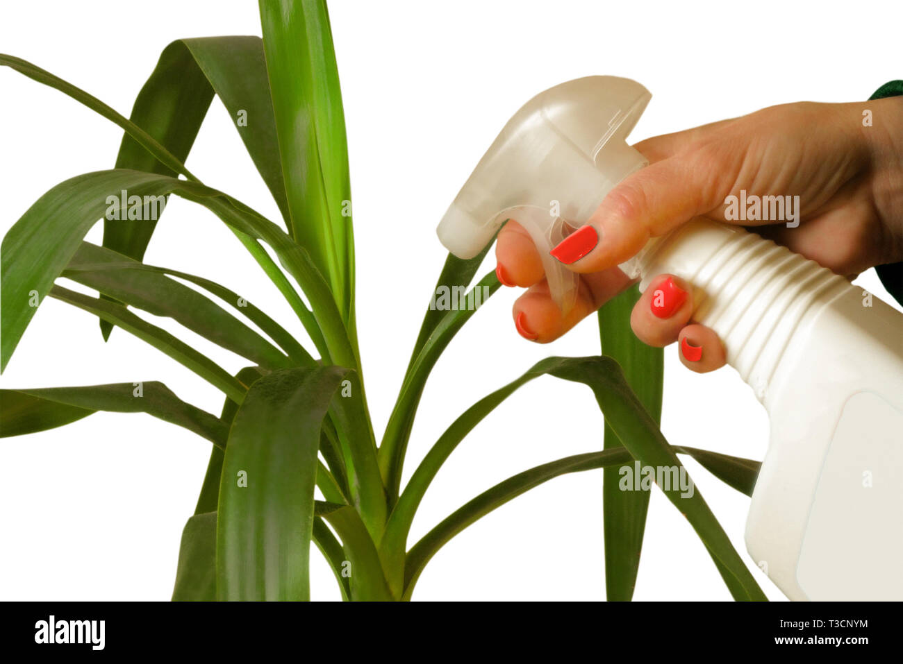 Woman hand cleans the green leaves of yucca flower with water spray. Housework routine or hobby care of indoor plant. Isolated macro lifestyle image - Stock Image