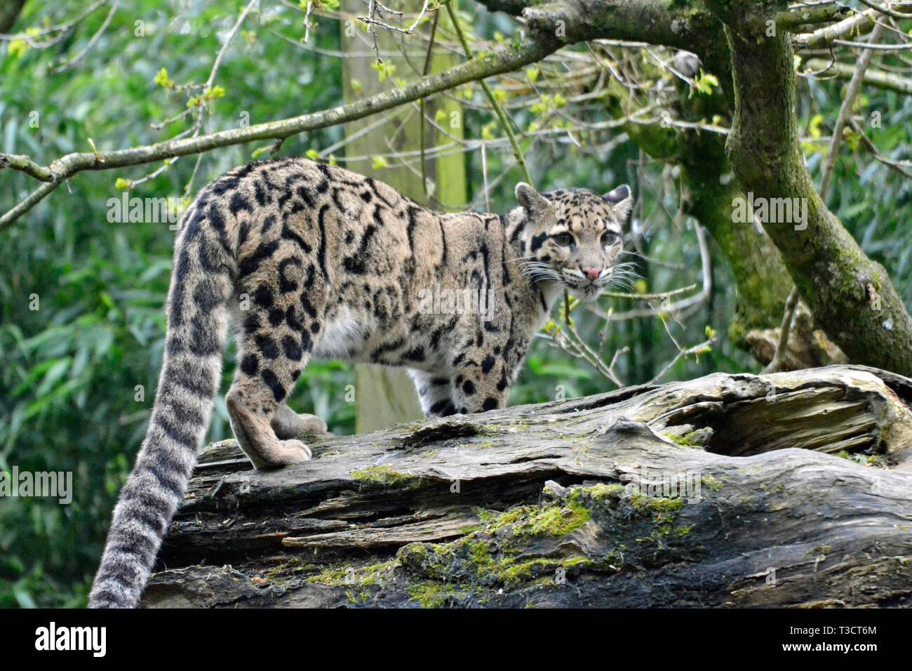 Amur Leopard at Cotswold Wildlife Park, Burford, Oxfordshire, UK Stock Photo