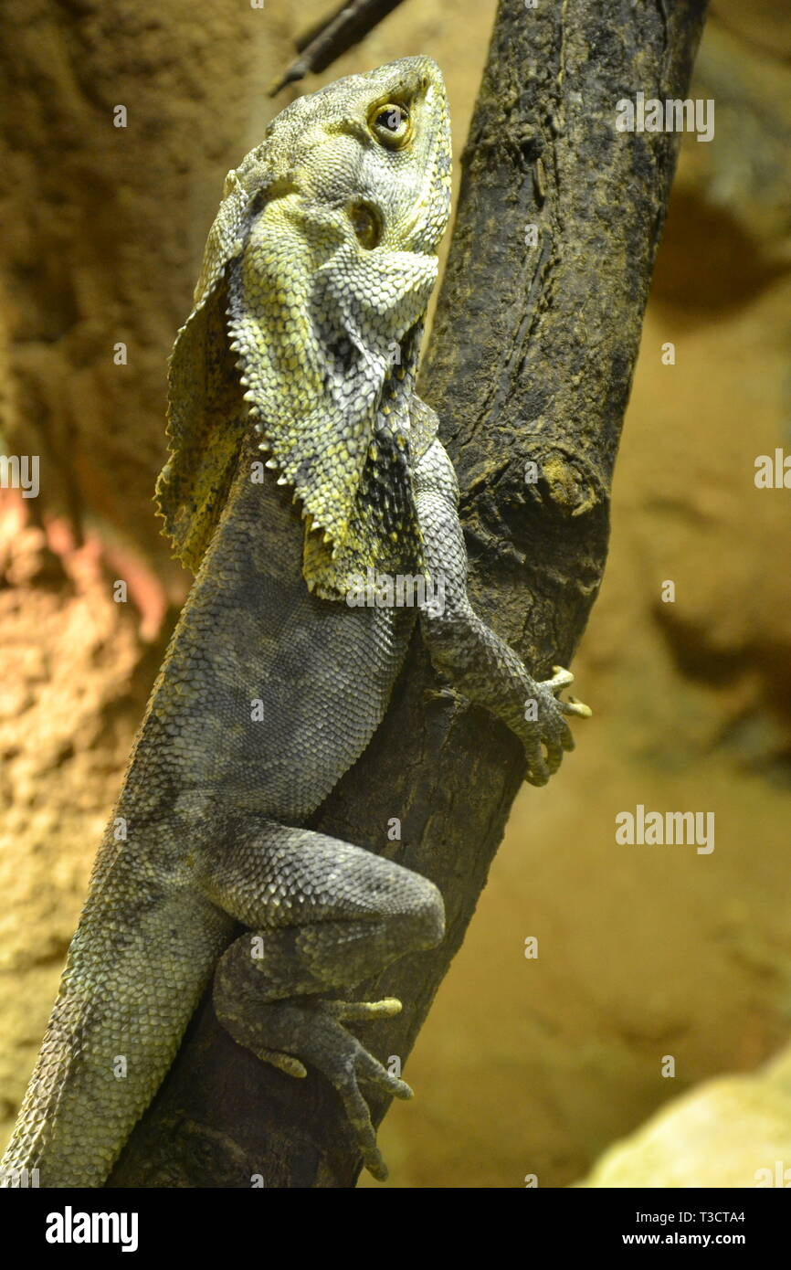 A frilled lizard, native to Australia and New Guinea, at Cotswold Wildlife Park, Burford, Oxfordshire, UK Stock Photo