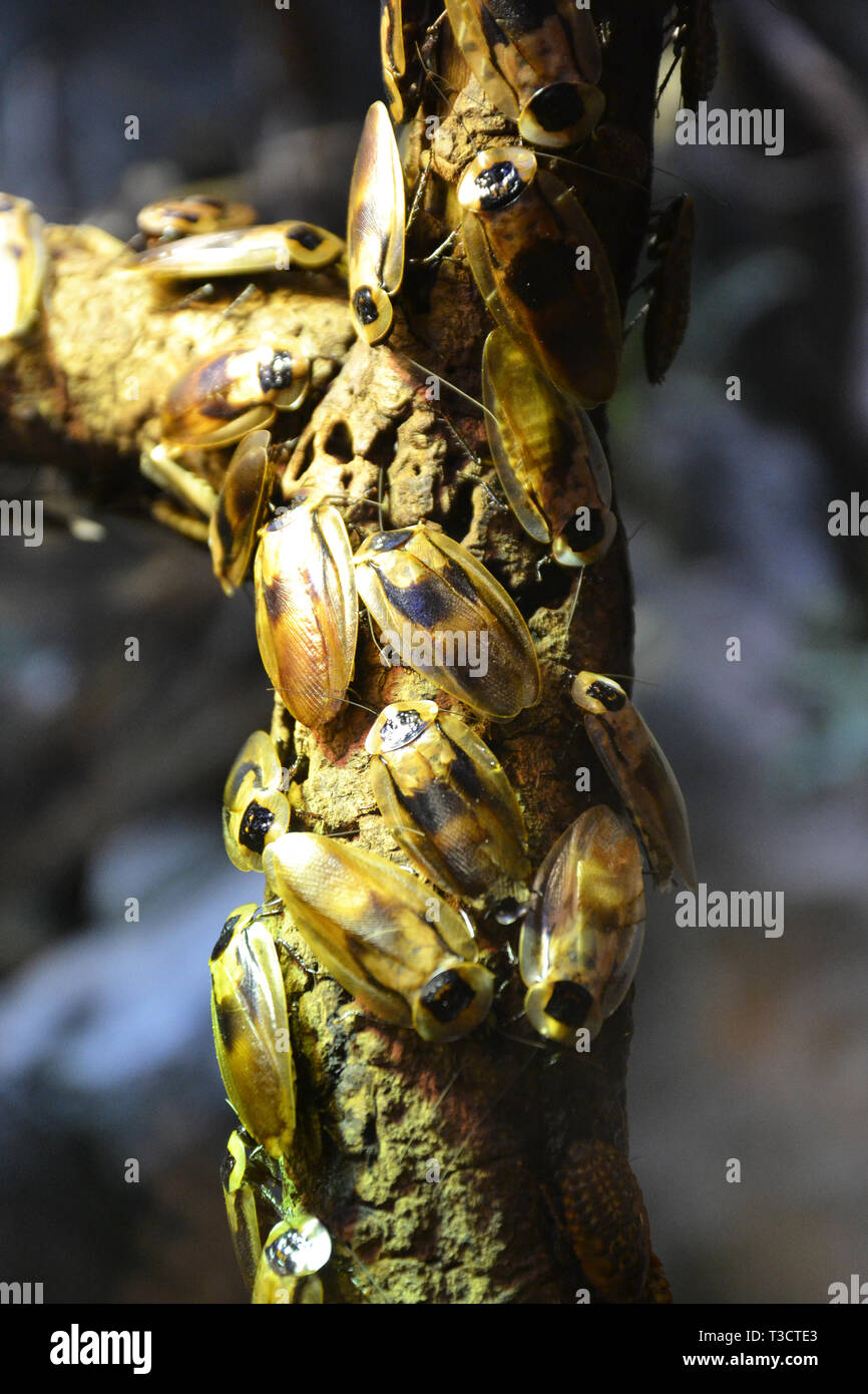 Giant cockroaches in the invertebrate house at Cotswold Wildlife Park, Burford, Oxfordshire, UK - Stock Image