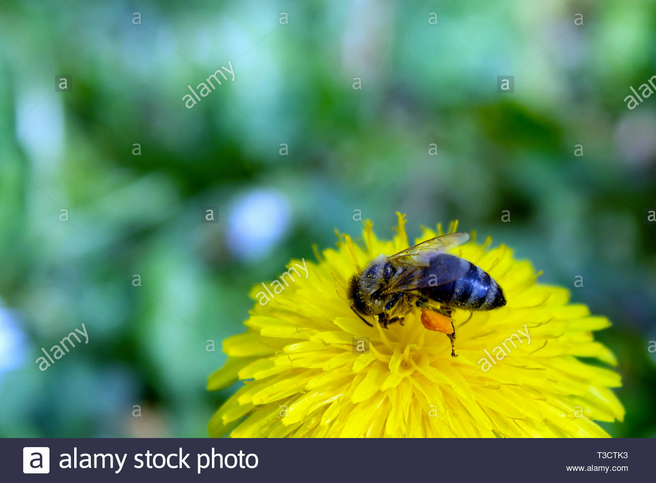 Honey bee covered with yellow pollen, drink nectar from yellow flowers and pollinating them. Hairs on Bee are covered in yellow pollen as are it's leg - Stock Image