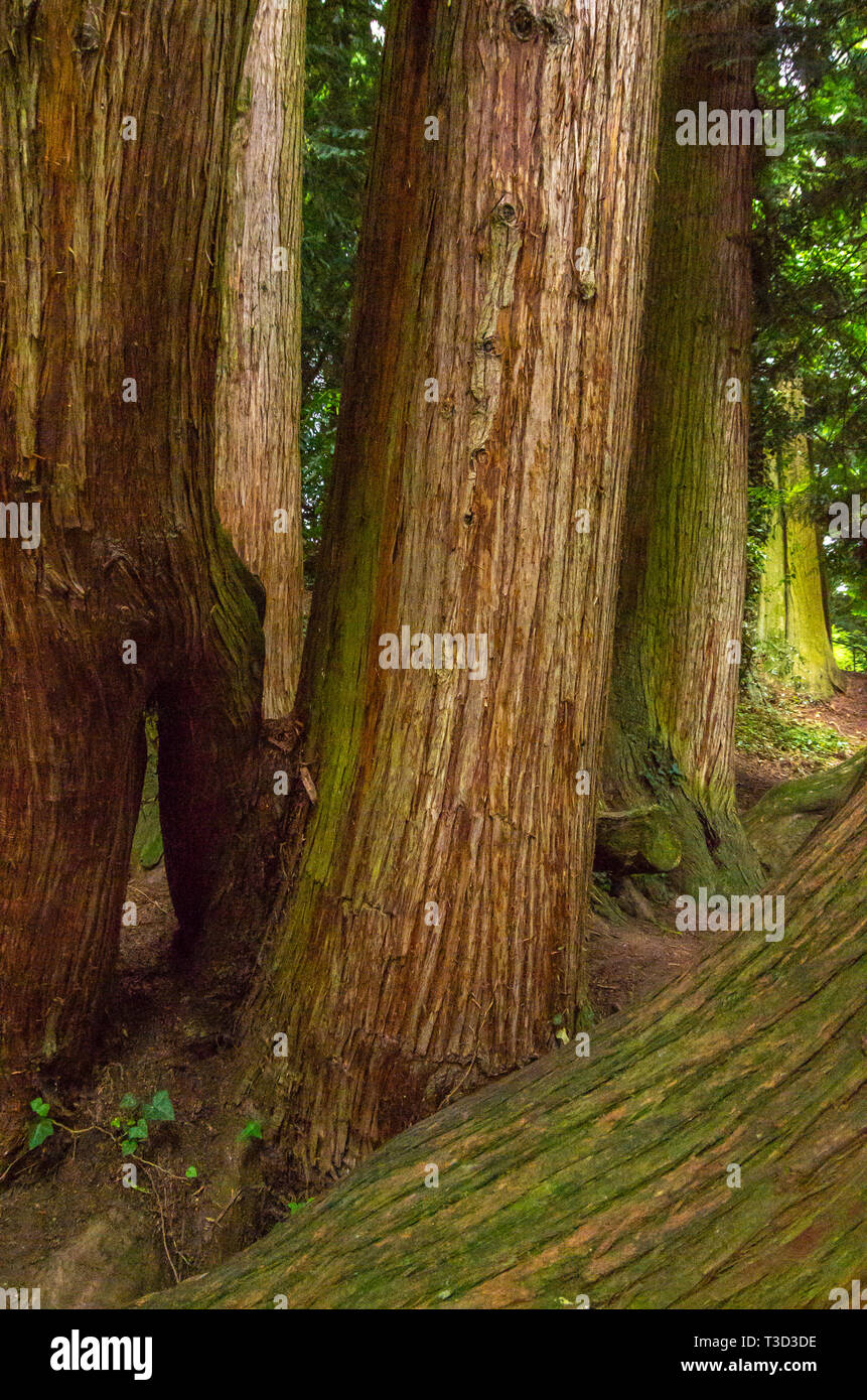 Mighty tree trunks in the arboretum of Mainau Island in Lake Constance, Baden-Wurttemberg, Germany. Stock Photo