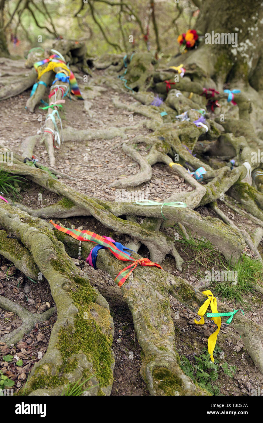 ribbons on beech tree roots Avebury England - Stock Image