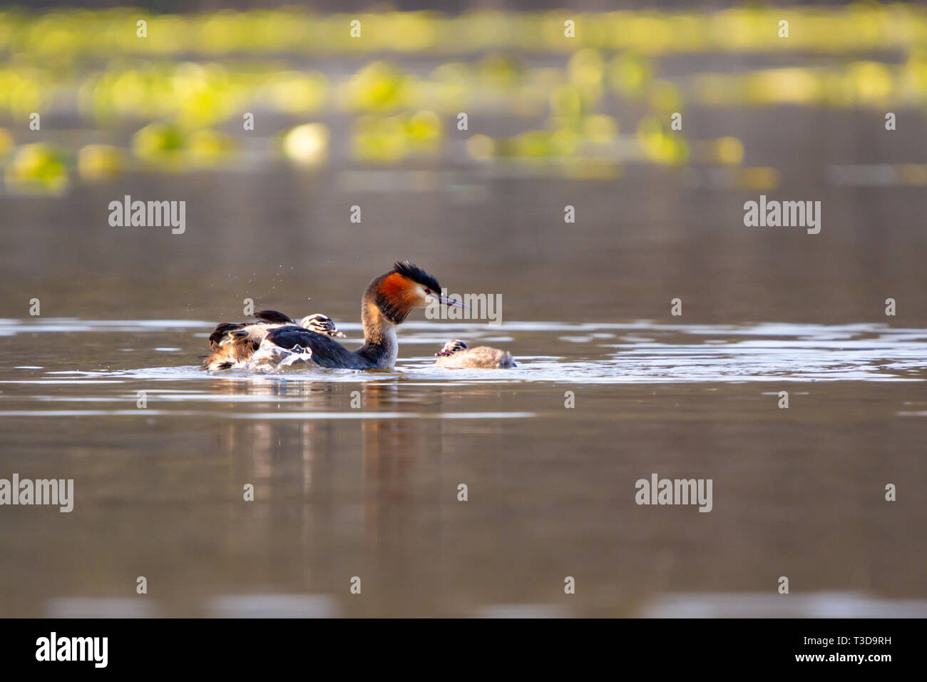 Colour wildlife portrait photograph of adult Great crested grebe (Podiceps cristatus) with chick on back whilst swimming on water. Taken on Hatchpond, Stock Photo