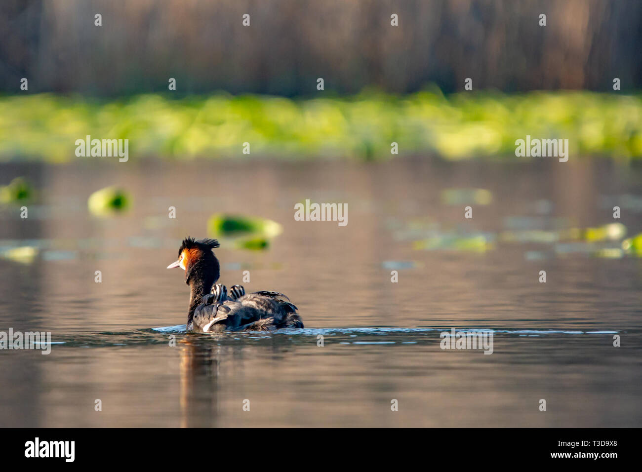 Colour wildlife portrait photograph of adult Great crested grebe (Podiceps cristatus) with two chicks on back whilst swimming on water. Taken on Hatch - Stock Image