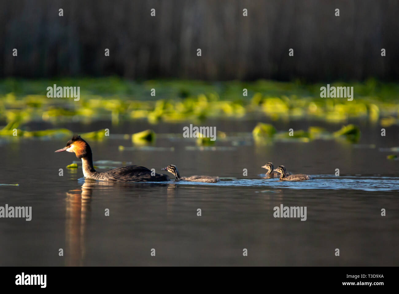 Colour wildlife portrait photograph of adult Great crested grebe (Podiceps cristatus) with three chicks following behind whilst swimming on water. Tak - Stock Image