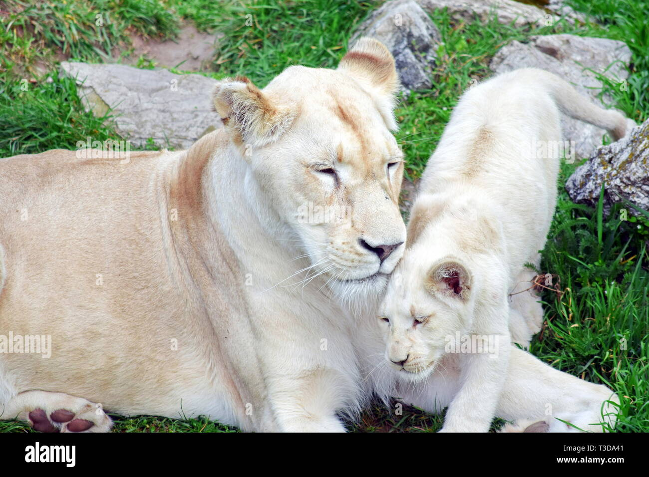White Lioness Panthera Leo Krugeri Resting with Cub - Stock Image