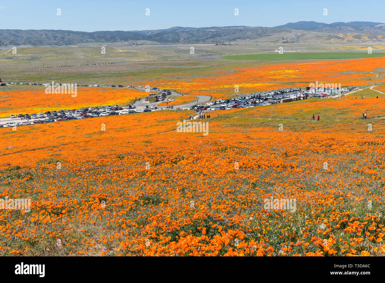 Lancaster, California, USA - April 2, 2019:  Line of cars waiting to enter parking lots at Antelope Valley California Poppy Preserve Park. - Stock Image
