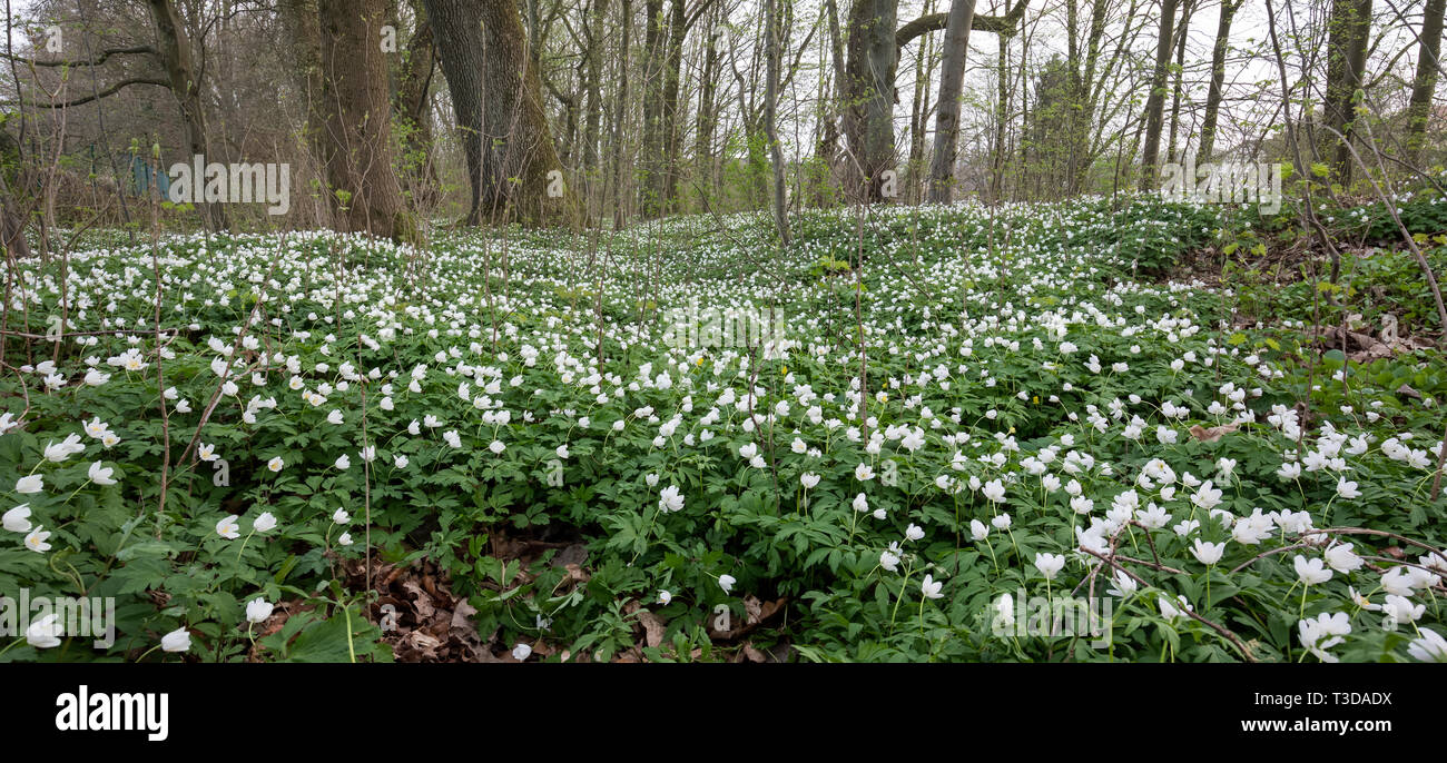 Buschwindroeschen, Anemone nemorosa, wood anemone Stock Photo