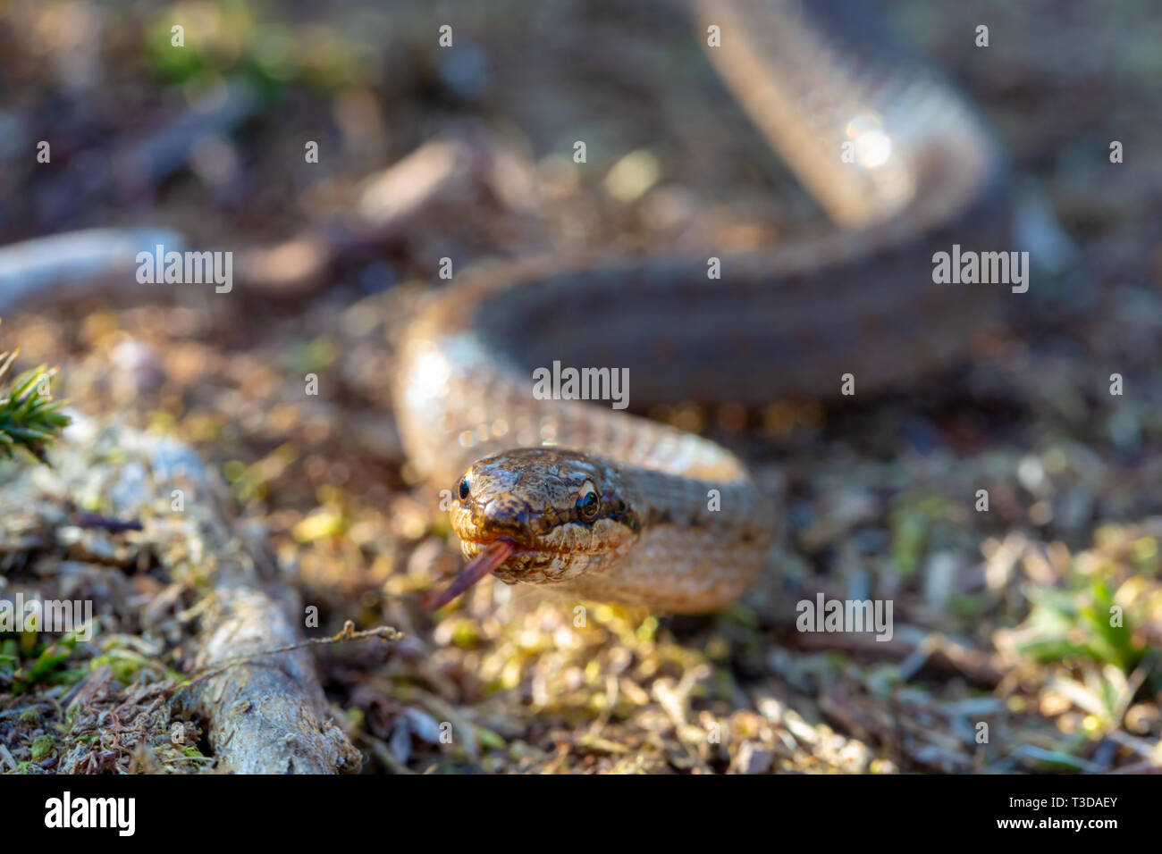 Creative colour portrait photograph with selective focus on Smooth snakes eyes (Coronella austriaca) taken on heathland nature reserve within Poole, D - Stock Image