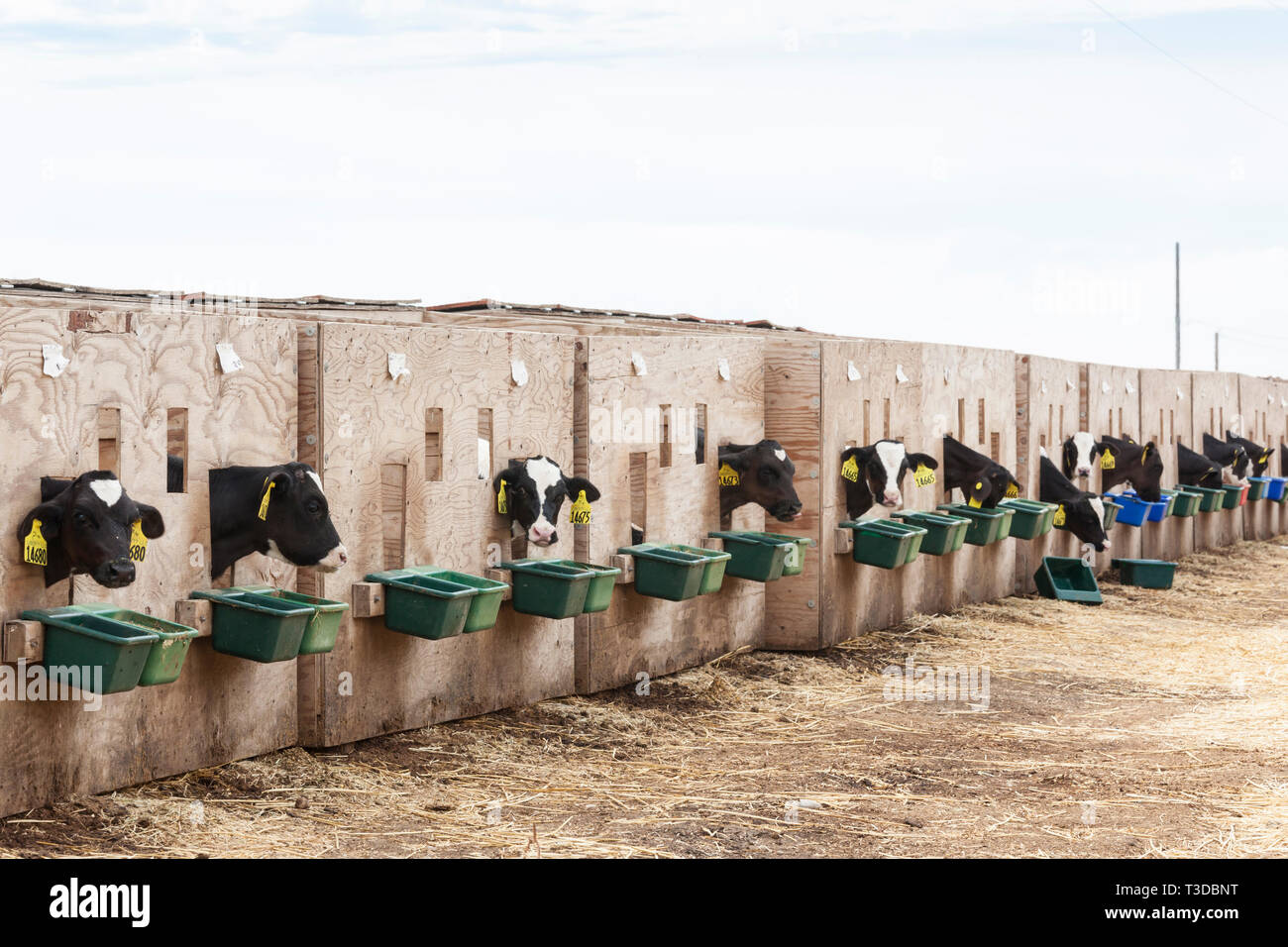 Veal cattle calves livestock in pens crates on a farm. Possible animal cruelty. - Stock Image